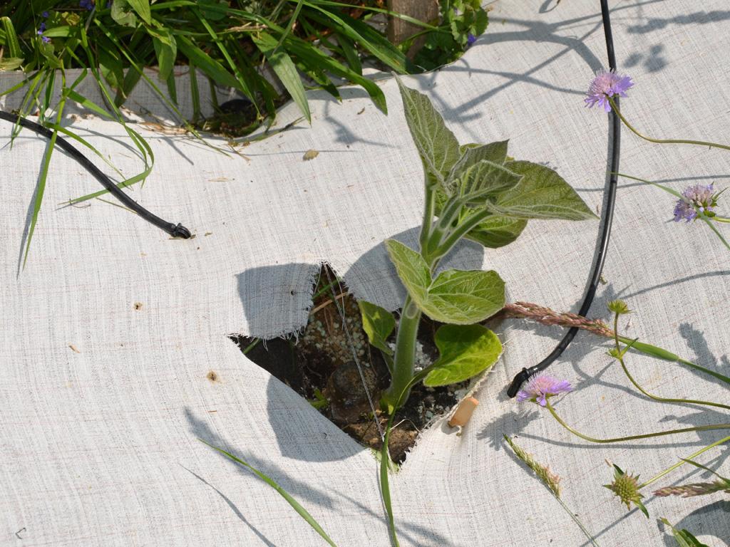 Jungpflanze unter Folie